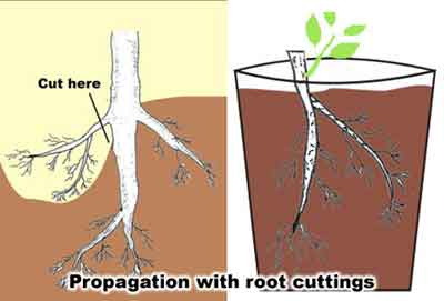 Asexual propagation grafting plants