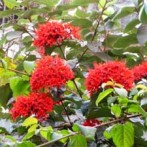Clerodendrum climber