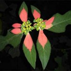 Wild poinsettia, Painted leaf poinsettia